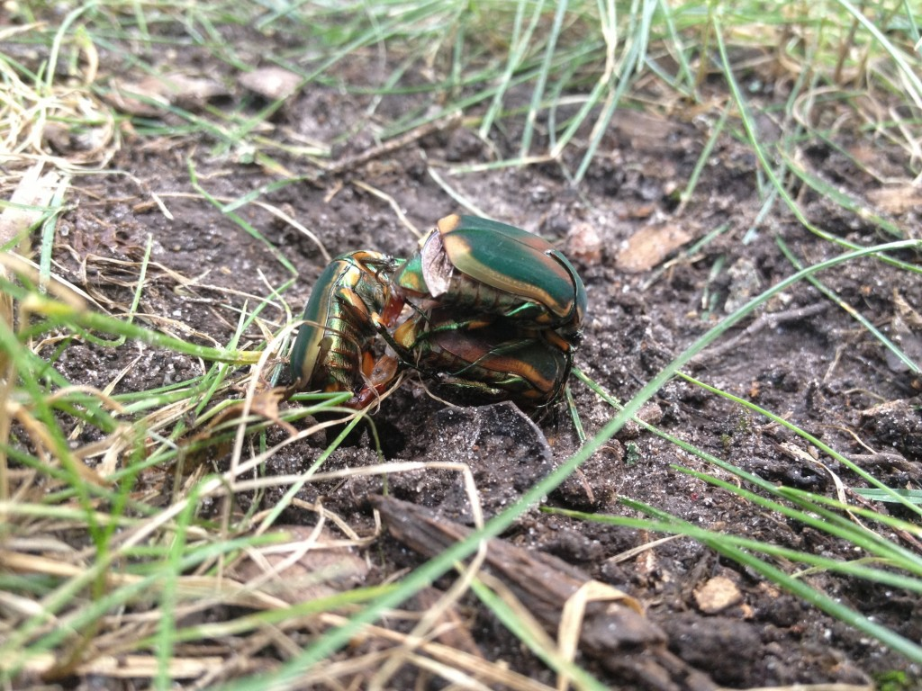 Two males fighting for a female cotinis nitida - green june beetle