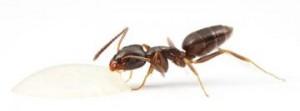 http://www.alexanderwild.com/Ants/Taxonomic-List-of-Ant-Genera/Tapinoma/