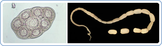 7293613 besides 808 also Kids Pest Guide also Some Nasty Parasites Found In Body together with Fleas. on tapeworm feeding