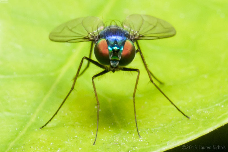 This fly had the most brilliantly iridescent blue body and stunning eyes. Photo credit: Lauren Nichols.