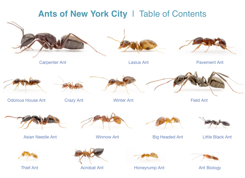 NYC_ants_TOC