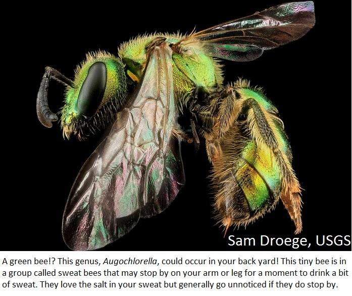 Droege_Augochlorella_spp-1