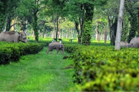 Asian elephants in Assam, India tea plantation on June 1, 2014. Photo by Jayanta Kumar Das.