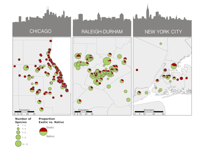 The relative prevalence of exotic and native ants in Chicago, Raleigh, and New York City. The size of each circle represents the total number of ant species collected at each site. Proportions of exotic to native species are indicated by the shading of the circles. The proportions of native ants are depicted in green, while the proportion of exotic ants are red. Read more: http://www.esajournals.org/doi/full/10.1890/ES13-00364.1