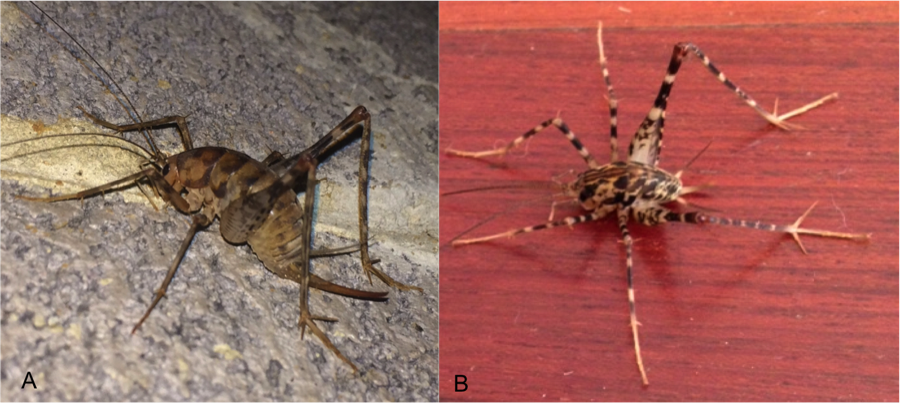 Comparing Diestrammena asynamora (A) to Diestrammena japanica (B). Photos contributed by citizen scientists.