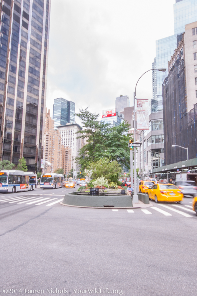 Broadway and 61st street, New York, New York.  We often overlook the habitats we create for wildlife within our urban environments.