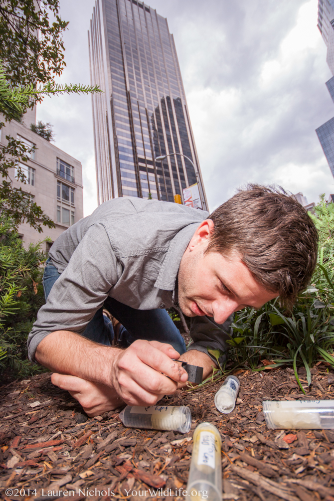 Clint Penick samples ants on Broadway median in New York City